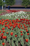 Field of tulips. Field of multicolored tulips in the morning Stock Image