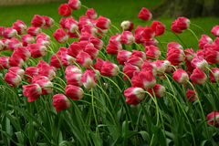 Field of tulips. These tulips all were bending in one direction Stock Image