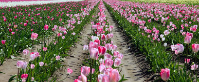 Field of tulips. Stock Photography