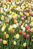 Field of Tulips Stock Photo
