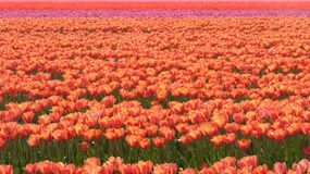 Field with tulips Royalty Free Stock Photo