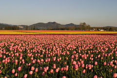 Field of tulips Stock Image
