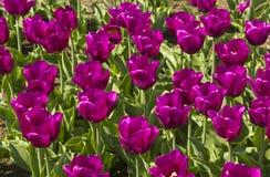 Field of tulips Stock Photos