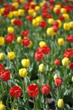 Field of tulips Royalty Free Stock Photos