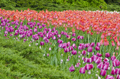 Field of Tulips #2 Stock Image