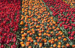 Field of Tulips. Colorful field of beautiful tulips in Holland Royalty Free Stock Photos