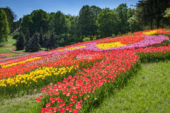Field of tulips. Terrain landscape lined with brightly colored tulips Royalty Free Stock Image
