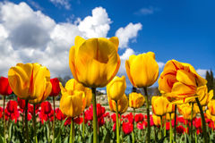Field of tulips. Bright tulips on a background of blue sky Royalty Free Stock Image