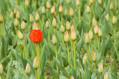 Field of tulips. One tulip blossoms in the field Stock Photo