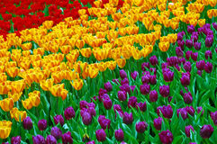 Field of tulips at hong kong flower show stock photography