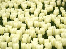 Field of tulips. Field of white tulips Stock Images