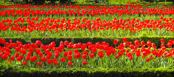 Field of tulips. Rows of red tulips in the spring Royalty Free Stock Image
