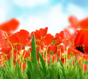 Field of Tulips. Field of Beautiful Red Tulips royalty free stock image