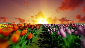 Field of tulips against beautiful sunset, camera fly over