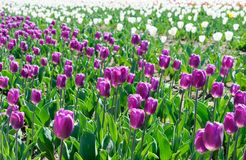 Field of Tulips Arabian Mystery. Festival of tulips in Ukraine. Field of tulips. Arabian Mystery grade in front and Antarctica on the background. Middle-tinted Stock Photos