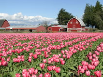 A Field of Tulips with Barn Stock Photo