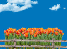 Field of tulips behind fence Stock Photo