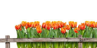 Field of tulips behind fence Royalty Free Stock Images