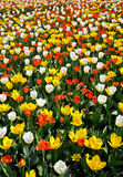 Field of tulips in bloom Stock Photo