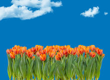 Field of tulips on a blue sky. With clouds Royalty Free Stock Photos
