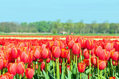 Field of tulips and blue sky Stock Photos
