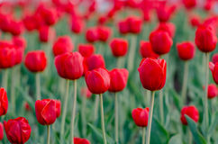 Field of tulips with blurred background. Field of red tulips with blurred background Stock Photos