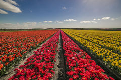 Field of tulips in Bordeaux Stock Photos