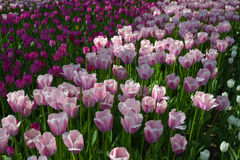 Field of tulips Royalty Free Stock Photography