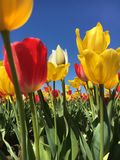 A field of tulips. On a bright spring day Royalty Free Stock Image