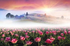 Field of tulips in the Carpathians Stock Images