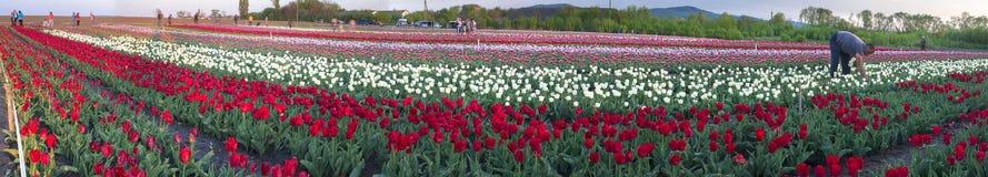 Field of tulips in Chernivtsi. Ukraine, Chernivtsi, May 3, 2015: Field with tulips Ukrainian farmer with the famous Dutch and European varieties of tulips stock photos