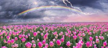 Field of tulips in Chernivtsi Royalty Free Stock Photo