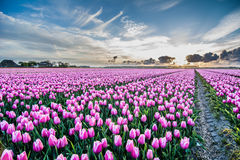 Field of tulips with cloudy sky in HDR Royalty Free Stock Images