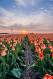 Field of tulips with cloudy sky in HDR Stock Photography