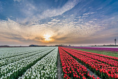 Field of tulips with cloudy sky in HDR Stock Image