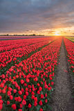 Field of tulips with cloudy sky in HDR Stock Photo