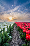 Field of tulips with a cloudy sky in HDR Royalty Free Stock Photos