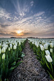 Field of tulips with a cloudy sky in HDR Stock Photography