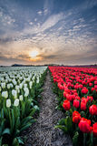 Field of tulips with a cloudy sky in HDR Stock Image