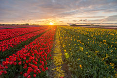 Field of tulips with a cloudy sky in HDR Royalty Free Stock Images