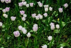 Field of tulips on daylight Stock Photography