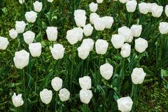 Field of tulips on daylight Stock Image
