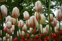 Field of Tulips Royalty Free Stock Images