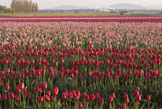 Field Of Tulips Stock Photography