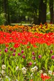 Field of tulips flowers. Spring royalty free stock images