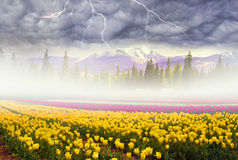 Field of tulips in the fog Stock Photography