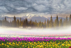 Field of tulips in the fog Stock Photos