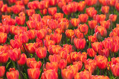 Field with tulips in Holland. Orange tulips all over. Taken somewhere in Holland Royalty Free Stock Photo