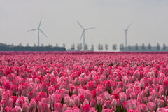 Field with tulips in Holland. Very Dutch scene with  a field full of tulips and windmill in the background Stock Photo