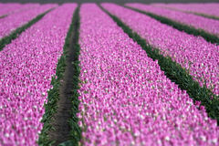 Field with tulips in Holland Stock Image